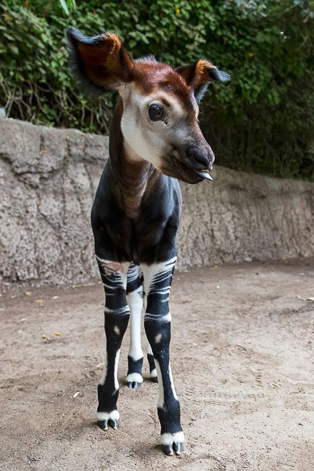 Baby Okapi. Beautiful or what?