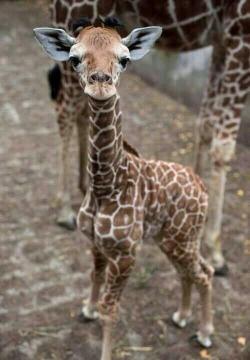 One word for this baby giraffe? :)A cute giraffe.