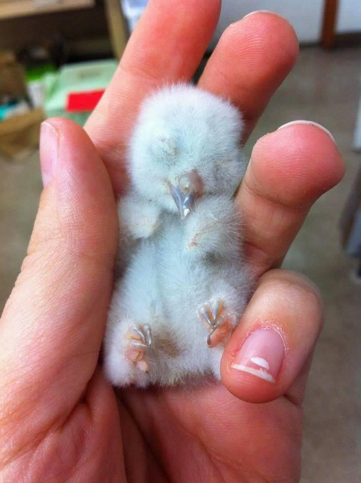 A newborn owl. <3