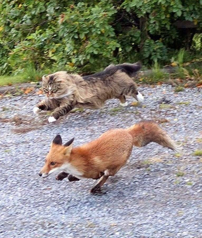 Maine Coon chasing a fox! :)