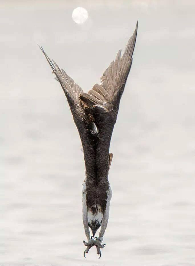 Osprey diving for a fish near Cocoa Beach, Florida. :o