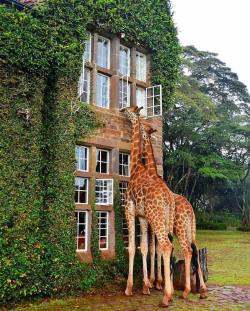 Room view at Giraffe Manor  Nairobi, Kenya.