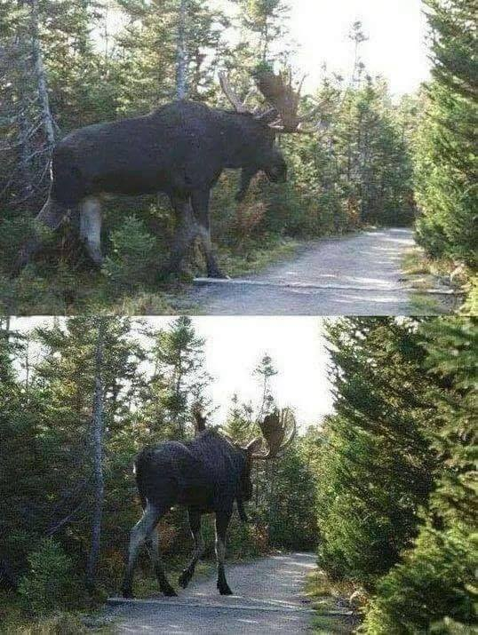 The moose are really giant. They are the biggest of the deer family. :o