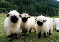 Valais Blacknose Sheep :)