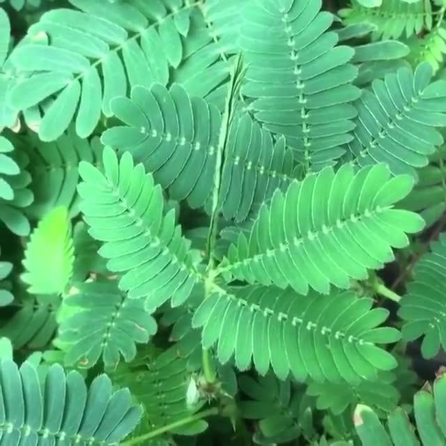 Watch The beautiful Makahiya plant. 🙂🌿🌿
