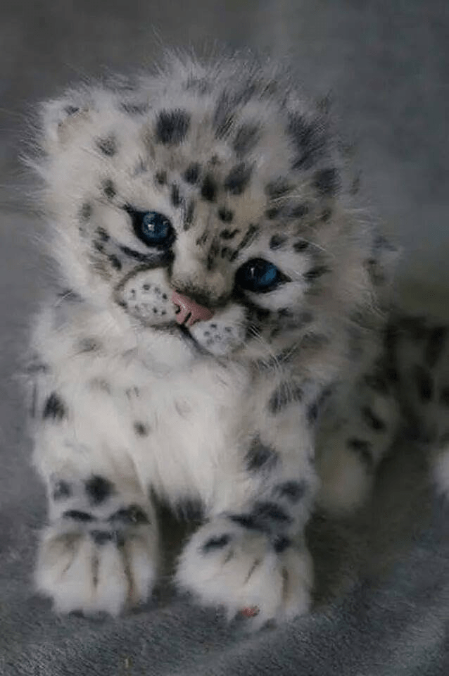 A Snow Leopard Cub. Magnificent or not?