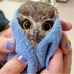 Baby owl after a bath. :D