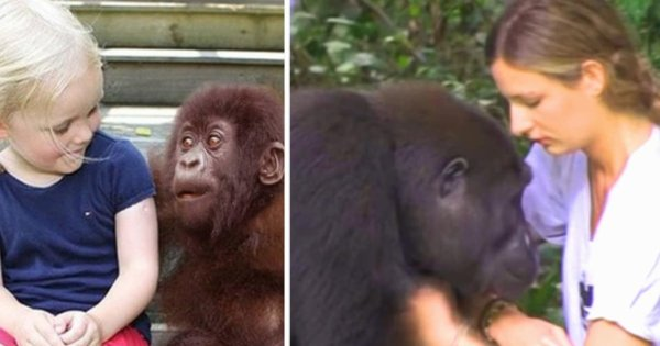 Defying All Warnings His Daughter Steps Too Close To The Gorilla, She Meets After 10 Years