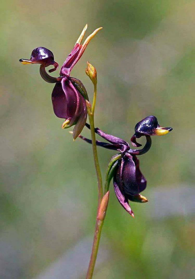 Flying duck orchid <3