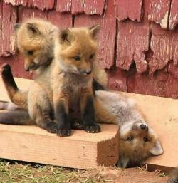 From 1 to 10 how adorable are these baby foxes? <3