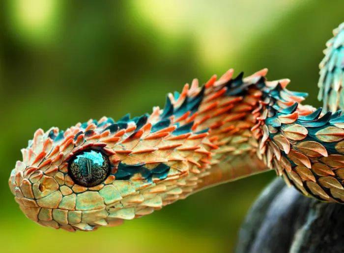 Incredible shot! African bush viper