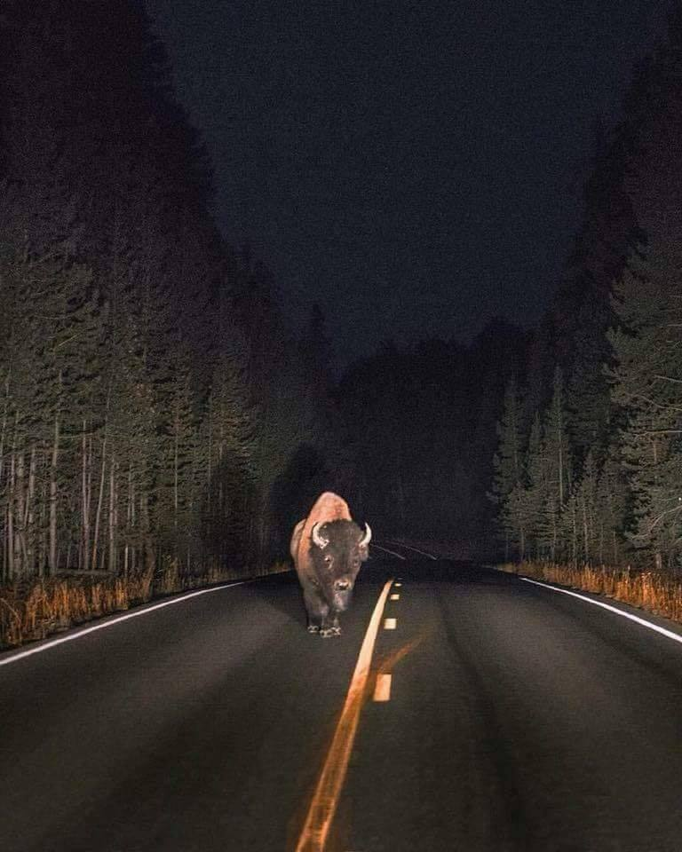 Night encounter in Yellowstone National Park :o