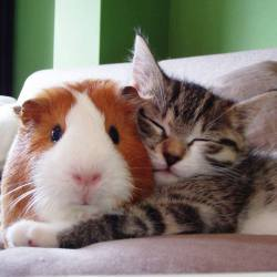 When your sleep buddy is a guinea pig…