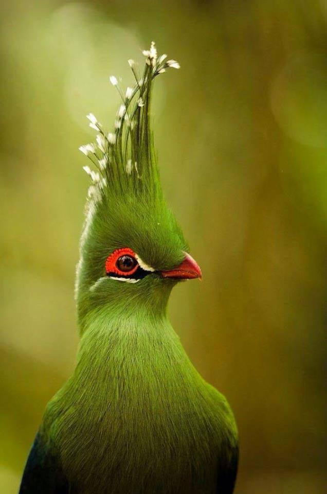 A gorgeous shot of Livingstone's Turaco, which can be found in South Africa