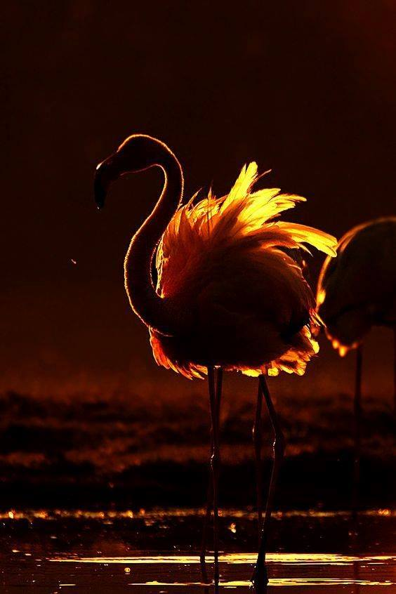 A greater flamingo in India hit by the rays of a sinking sun..