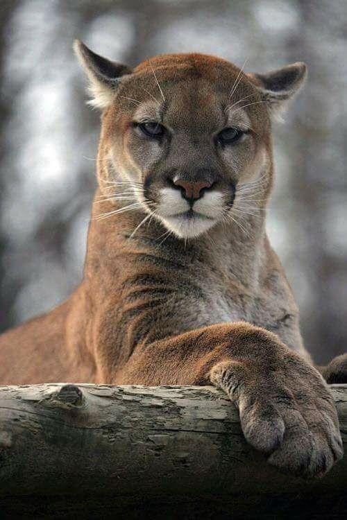 The Mountain Lion  <3  (aka Puma, Cougar)
