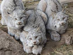 Young Canada lynxes