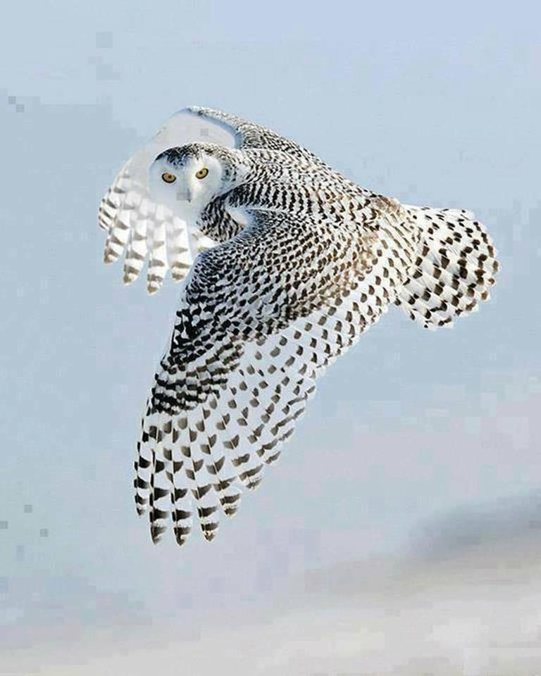 Amazing shot of a flying owl. :o
