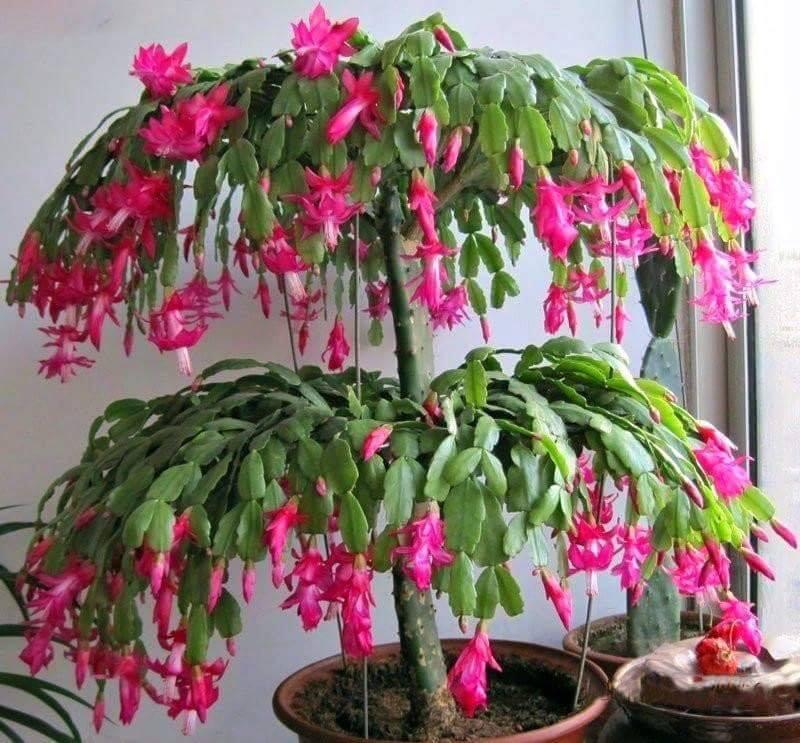 An amazing grafted Christmas Cactus ~ Schlumbergera bridgesii :o