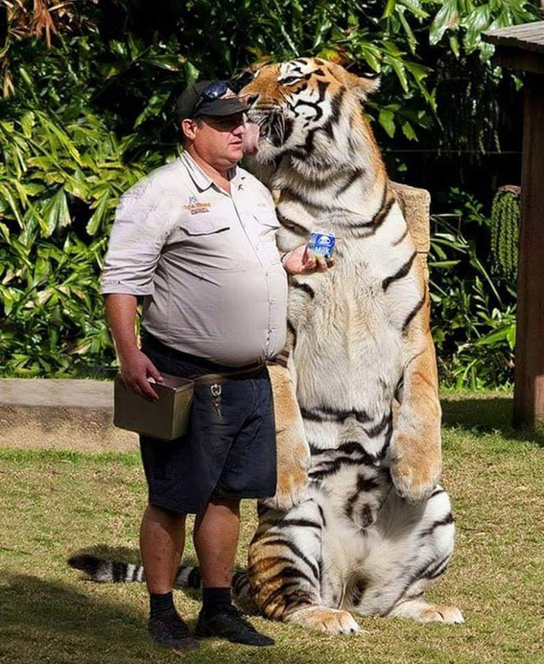 I never realized how big tigers really were until I saw this picture..