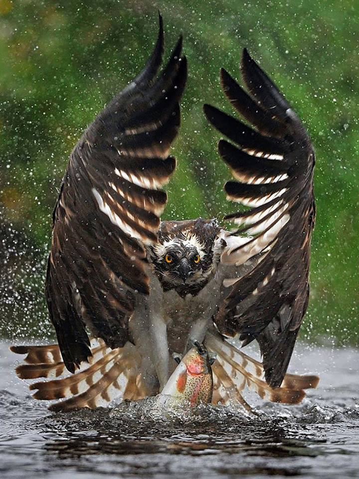"""""""Osprey catches trout. Nature is awesome…"""""""