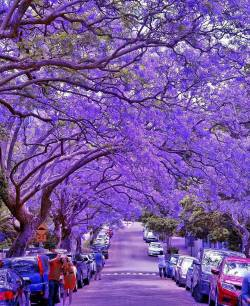 Purple blossom street  Milson Park, Sydney, Australia