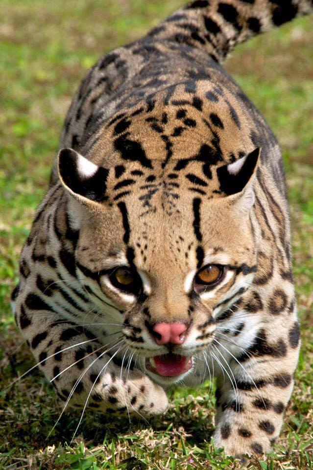 """This neither a cheetah nor a leopard; it is an ocelot – a small """"Big Cat""""! :o"""