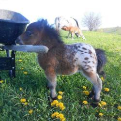 Baby mini Appaloosa horse!