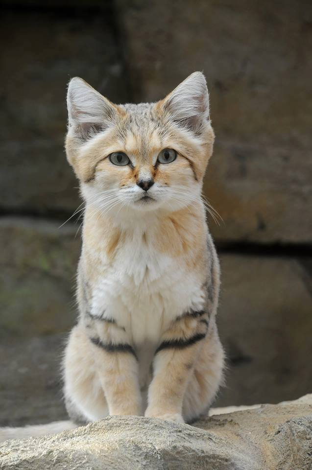 In the dried lands of Africa and Asia, you can find this strange and beautiful cat.   Wonderful  ...