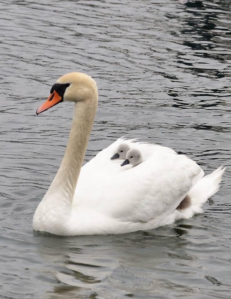 Mama swan and babies
