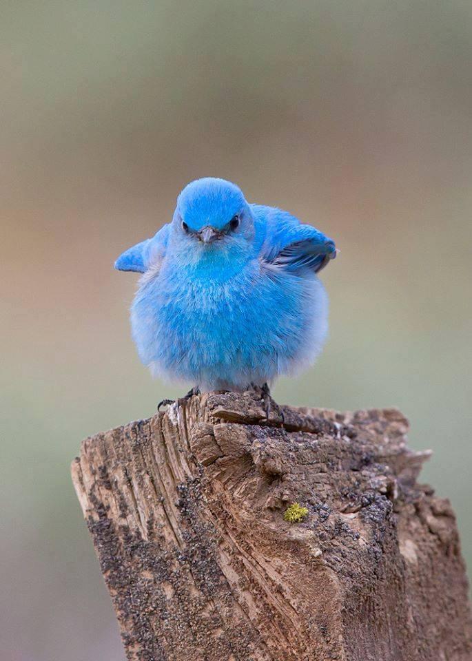 Mountain Bluebird <3