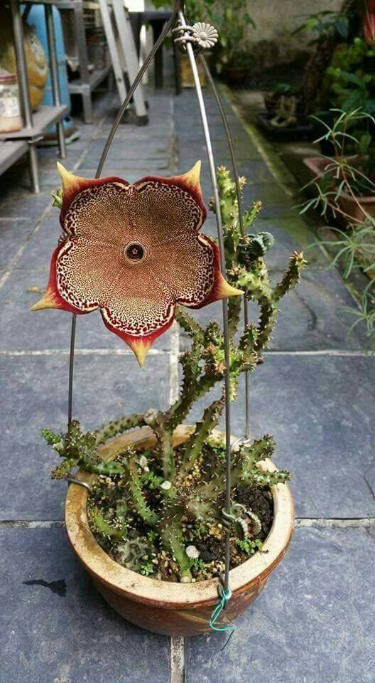 One word for this beauty Edithcolea Grandis