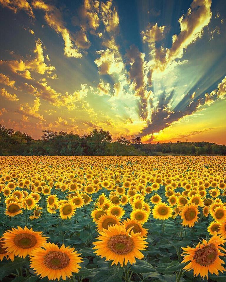 Sunflowers' beauty  Provence-Alpes-Cote d'Azur, France