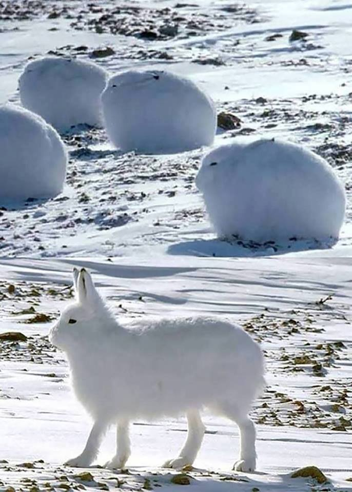 These are called Arctic Hares. They look like bunny pups…