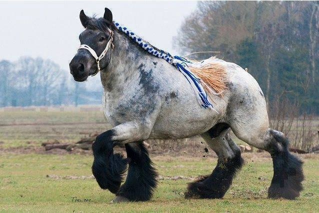 This is an Ardennes draft horse.
