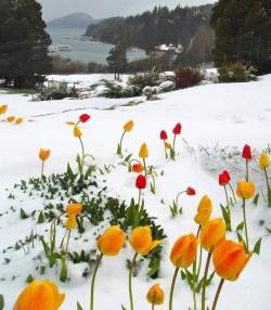 Tulips Blooming in The Snow