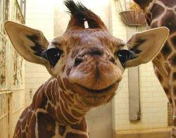 """""""Very few things can brighten my entire day as quickly as the smile of a baby giraffe̷ ..."""