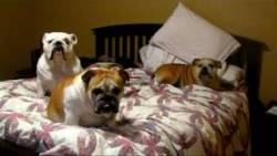 3 Bulldogs and a Lab watching Cesar Millan.  A true inspiration.