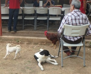 The pastor's dogs and this red rooster were regulars at all events.