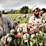 Multiple harvests drive Afghan opium boom