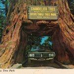 California's historic 'drive-through' tree has fallen down