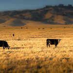Nevada Rancher Ordered To Pay $500,000 For Cattle That Grazed On Federal Land A Decade Ago