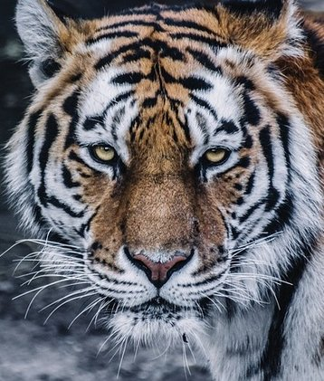 trd_small_tiger_2