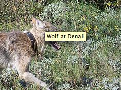 Wolf at Denali