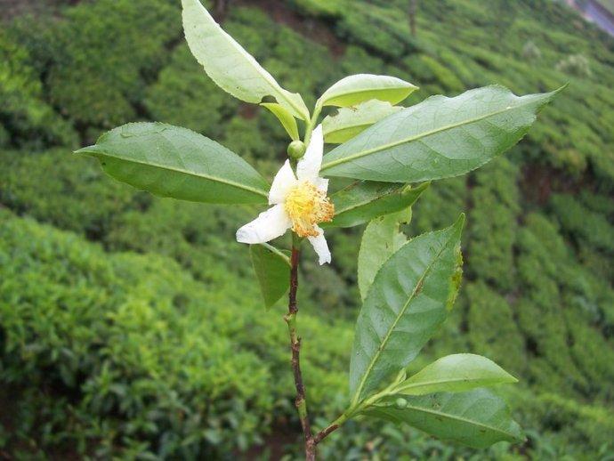 Camellia sinensis flower green tea