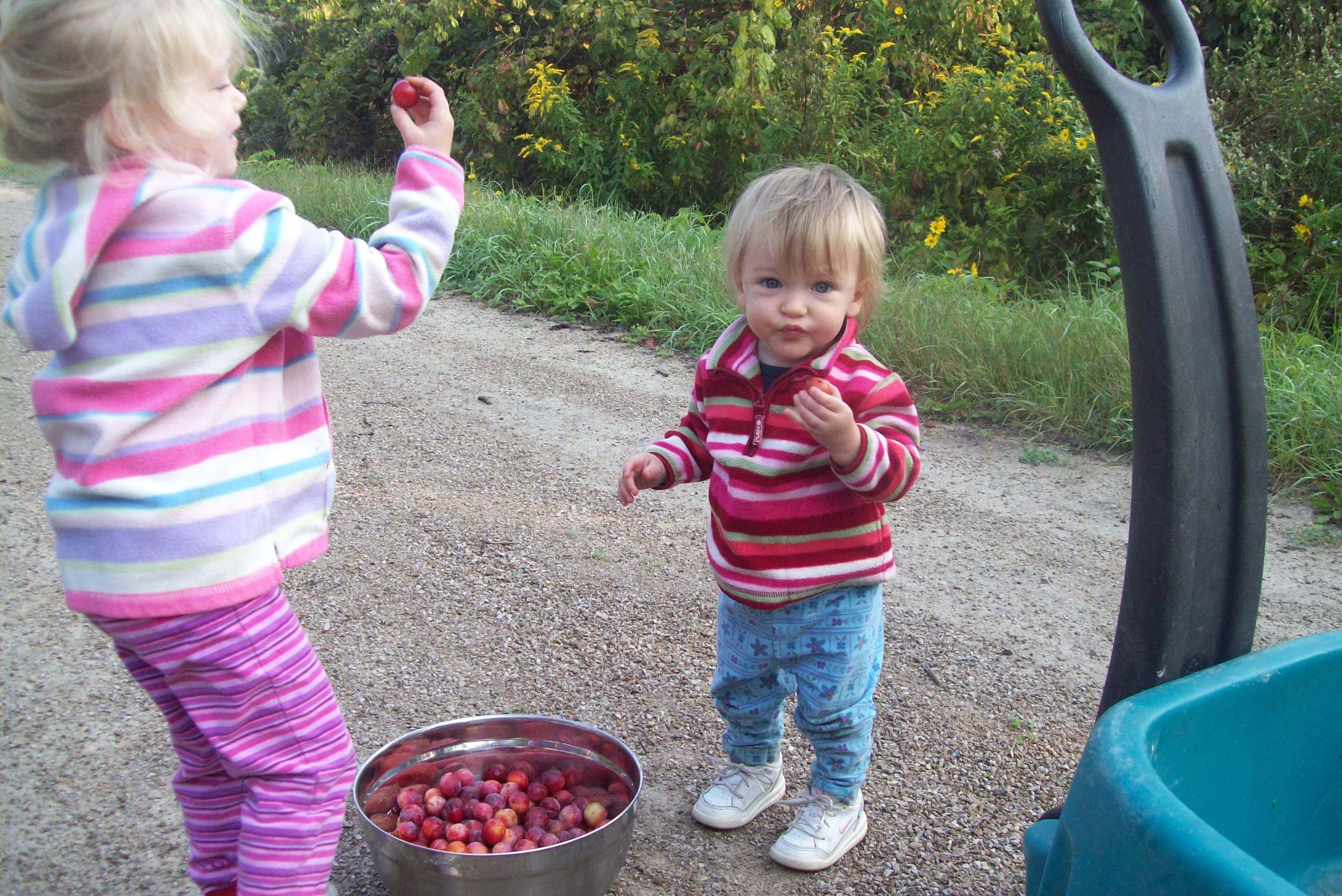 Our Bounty of Plums!