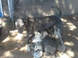 Lacey and Catahoula Pups