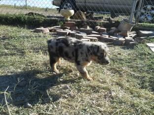 Aussie Pup F2 Ember Abbey