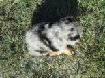 Aussie Pup M1 JackFrost