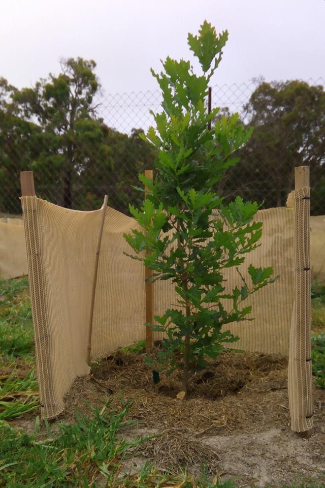 Oak Plant 6 Months Old